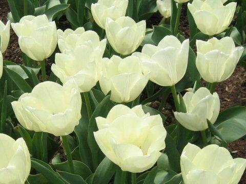 التوليب Tulipa gesneriana